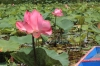 Travel, Thailand, Thale Noi, Waterlilies