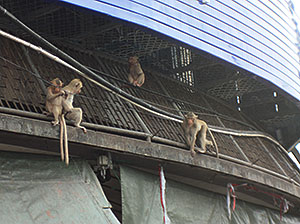 Marauding Monkeys