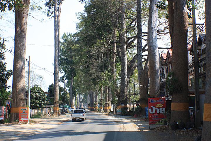 thailand, chiang mai, tall trees