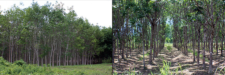 Rubber Trees, Thailand