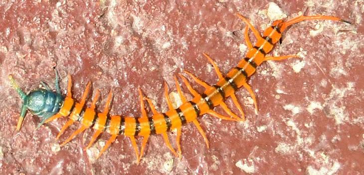 6273_thailand_centipede