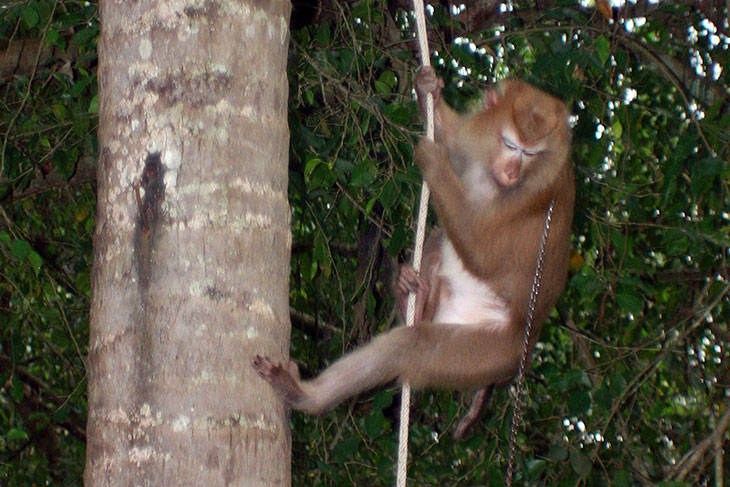 Monkey Training School, Surat Thani, Thailand