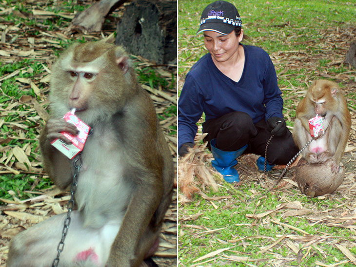 Monkey Training School, Surat Thani, Thailand