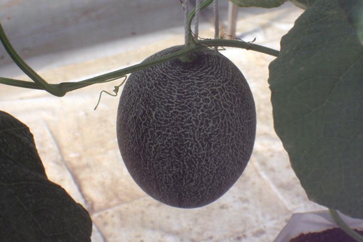 i love melon, surat thani, thailand, hydroponic