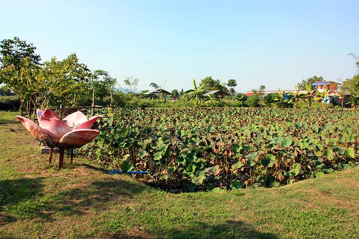 Doobua Lotus Garden Chiang Rai