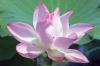 Travel, Thailand, Thale Noi, Waterlilies
